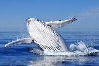Western Australia Debuts Humpback Whale Swims at UNESCO Rated Ningaloo Reef