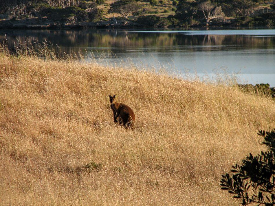 A Kangaroo on Kangaroo Island!