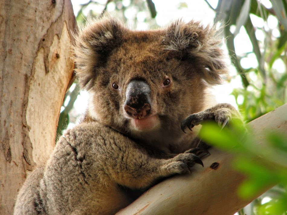 Koala at the Hanson Bay Sanctuary