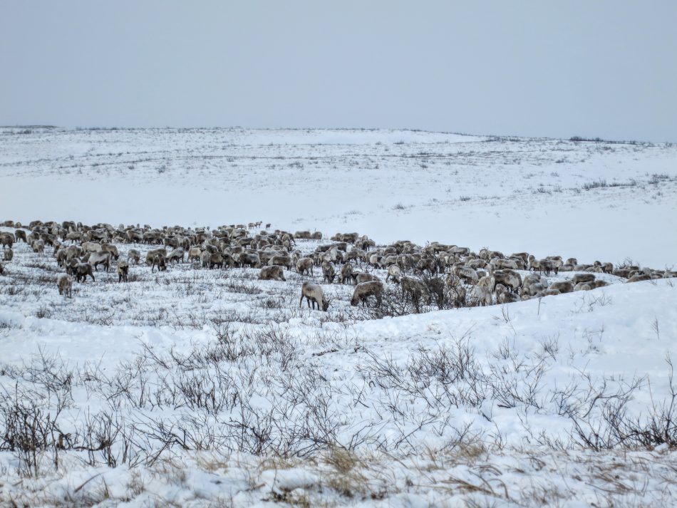 Reindeer herd searching for lichen on Richard Island