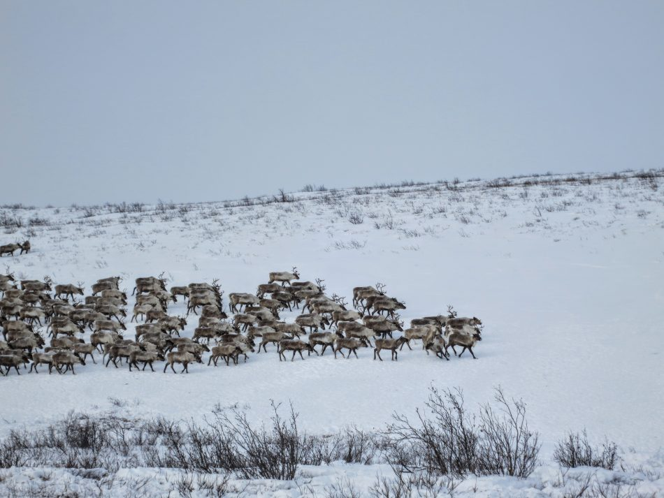 Close-up on the reindeers