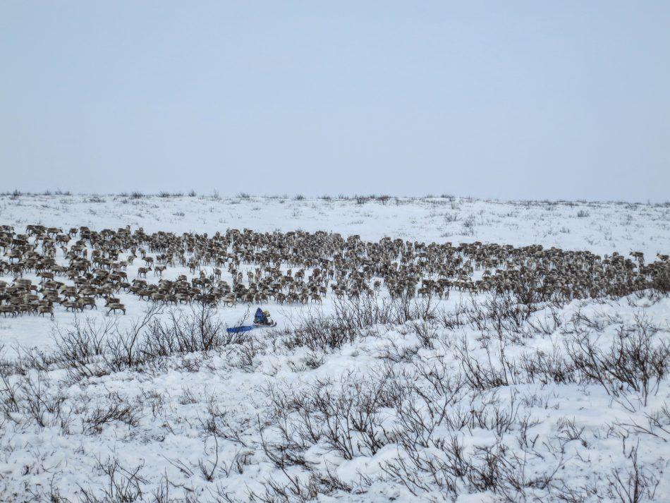 Hendrik pushing the herd up the hill on Richard Island