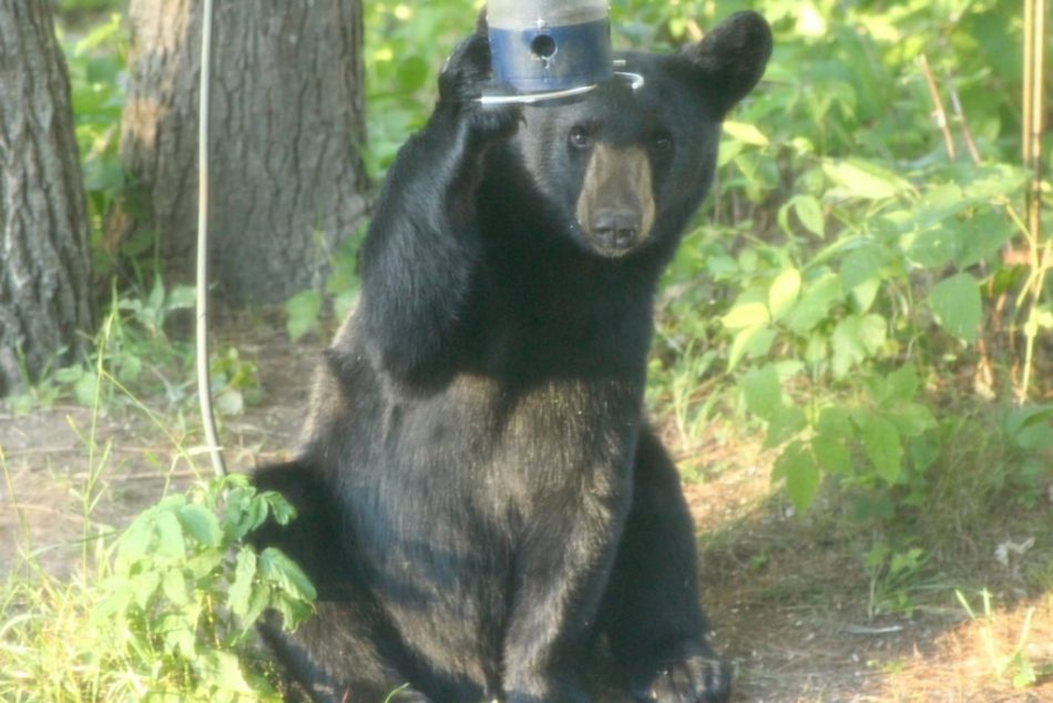Bears-New-Hampshire (3)