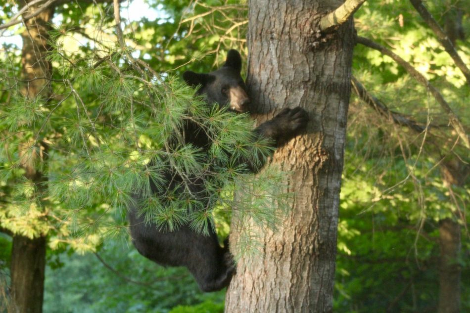 Bears-New-Hampshire (4)