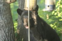 Backyard Bears in New Hampshire