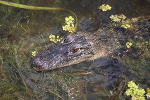 jean-lafitte-swamp-tour-6