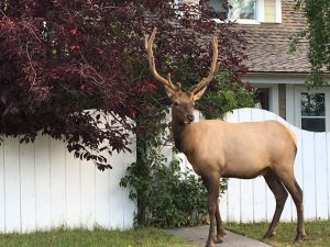 alberta-jasper-town-male-elk-munching-along-the-street-1-salloum