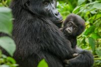 How tough is Gorilla Trekking in Rwanda and How Prepared should you be?