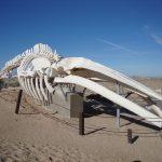 Fin Whale Skeleton Puerto Penasco Mexico