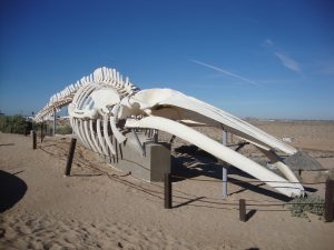 Fin Whale Skeleton Puerto Penasco Mexico