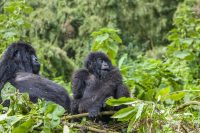 Gorilla Trekking in Volcanoes National Park