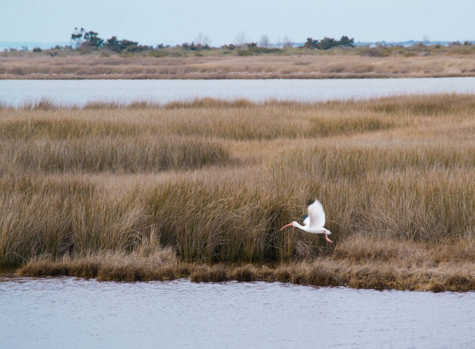 White Ibis takes flight on Pea Island National Wildlife Refuge