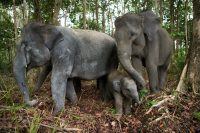 Elephants in Indonesia