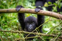 Gorilla Trekking in D R Congo Offered at Half Price
