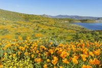Biggest Super Bloom in Over a Decade Expected at Diamond Valley Lake, Southern California
