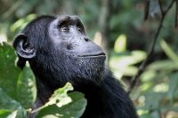 Everything You Need to Know About Chimpanzee Trekking in Nyungwe Forest