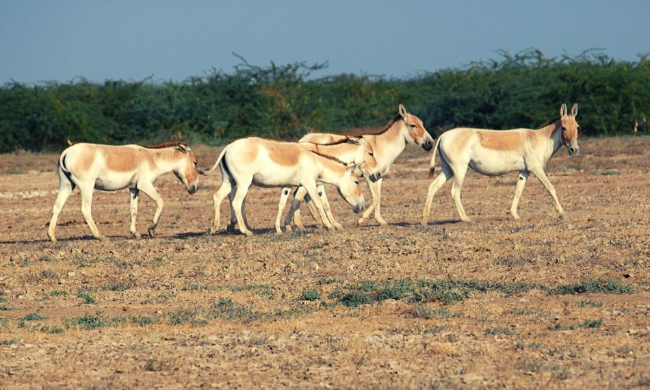 Wildlife in Little Rann of Kutch
