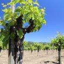 toffanelli-vineyard