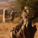 Old olive grove near Vlora Albania