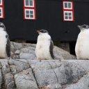 Three Penguins perched perfect, Port Lockroy Antarctica
