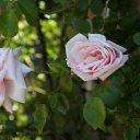 Roses blooming, Cardinal Winery, Napa Valley