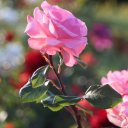 Springtime in Shiraz, Iran - A beautiful Rose