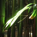 The Bamboo forests of Oheo, 10 miles from Hana