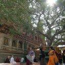 Bodhi-Tree-India
