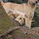 Dogs resting in tree, Kashmir