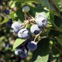 blueberries-copia