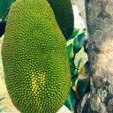 jakfruit-thailand