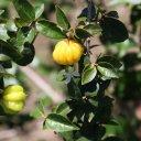 surinam-cherry