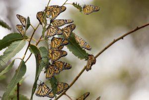 pismo-beach-monarch-butterfly