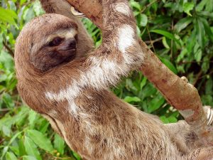 Iquitos-Sloth-0