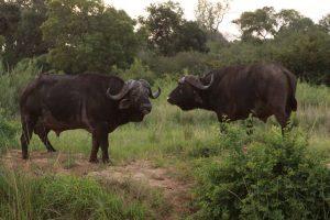 cape-buffalo south africa