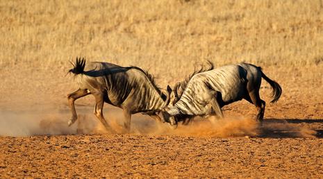 Two male blue wildebeest Connochaetes taurinus) fighting for territory, Kalahari desert, South Africa.