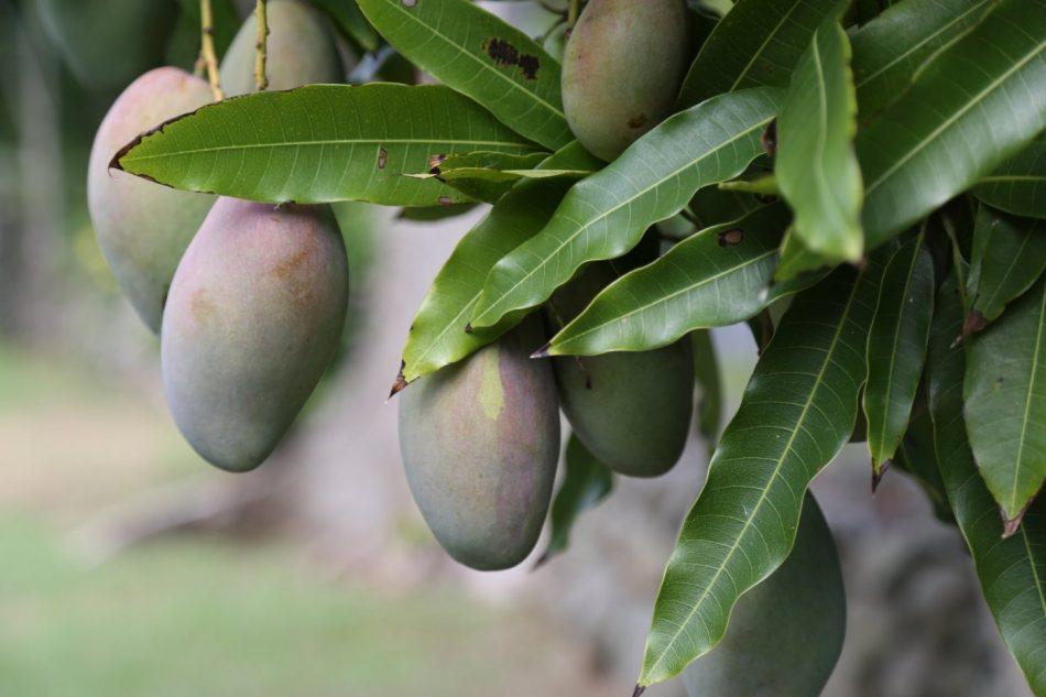 mangos-st-martin