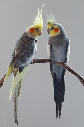 Pet birds cockatiels
