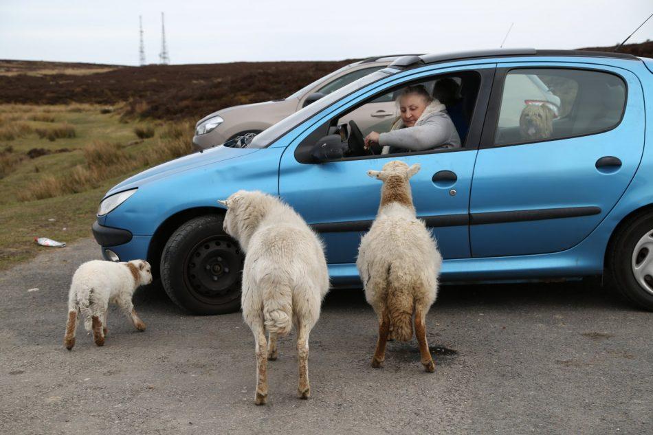 wales-sheep