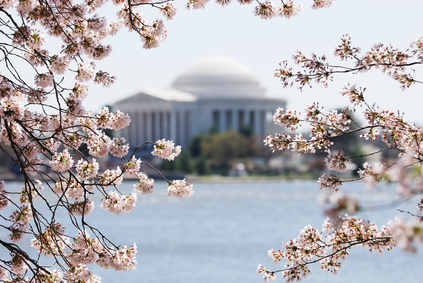 cherry blossom in Washington DC with Jefferson Memorial as background