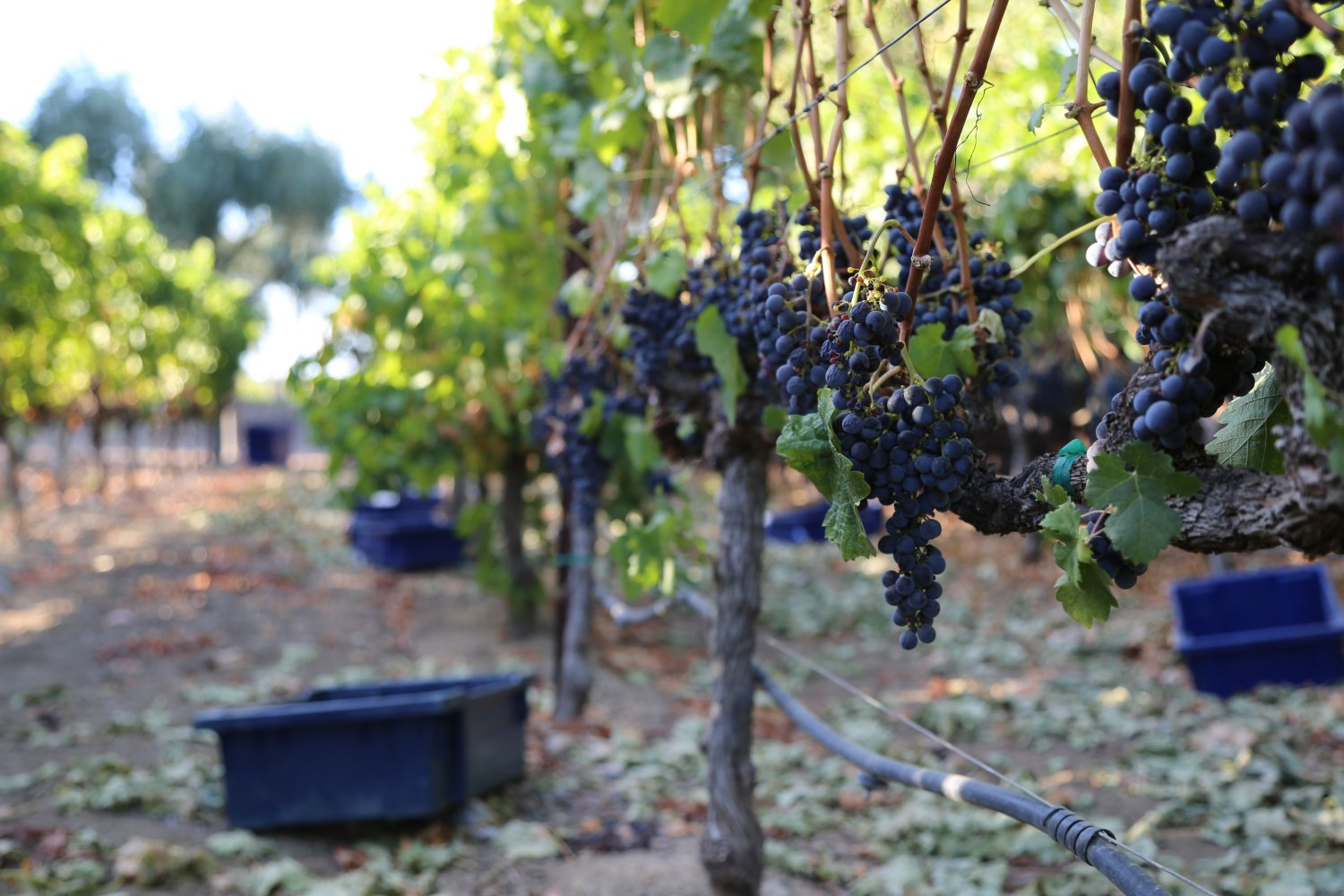 working-grapes