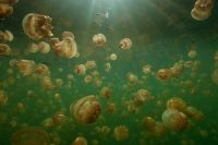 Palau Features Natures Most Unique, One-of-a-Kind Attractions…Swimming with Jellyfish