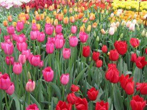 1. tulips