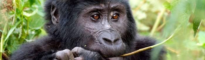 uganda-gorilla