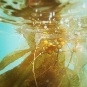 kelp-catalina-island