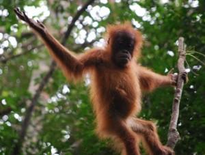 Baby orangutan playing on a tree branch.