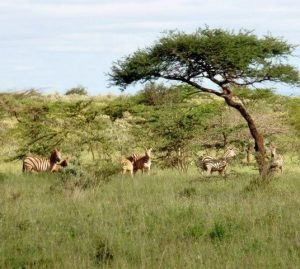 purely-wild-zebras