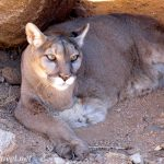 Keepers of the Wild mountain lion by Shara Johnson