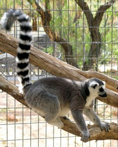 Keepers of the Wild ring tailed lemur by shara johnson