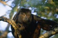 The Howler Monkeys of Nicaragua